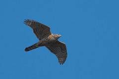 Juvenile Goshawk (JS_71) Tags: wildlife nature goshawk outdoor nikon photography 500mmpf