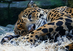 I'm not ready to get up yet but thanks (Eat With Your Eyez) Tags: jaguar akron zoo spots sleeping fur summit county ohio panasonic fz1000 bigcat cat