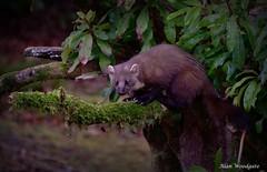 Pine Marten -Scotland (Alan Woodgate) Tags: nikon nature marten wild uk