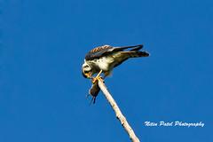 IMG_9598 (nitinpatel2) Tags: bird nature nitinpatel