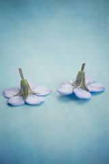 "Pair (borealnz) Tags: pair flower forgetmenot blue upsidedown macro ""macro monday's"" ""perfect match"" perfectmatch macromondays"