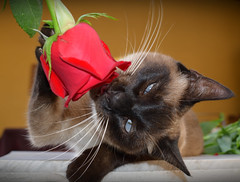 Maysa- romantic siames (ale per) Tags: cat chat gato kitty siames siam lion exotic cats siamois rose rosa romantic sprint flowers katze kissa kato kocka γάτα phisi mačka kočka macska köttur qattus pisică kot мачка cath قط گربه بلی बिरालो แมว mushuk বিড়াল 고양이 猫 貓 ကွောငျ kedi paka pusa kucing oddeyes