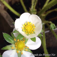 Flor Morango 🍓 (adriano270266) Tags: strawberry garden farm gardner morango flower flor
