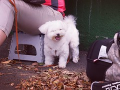 全場最可愛  #SPDI #InteractionFitness #熱血場地單車同好會 #新竹自由車場 #hsinchu #velodrome #taiwan #TrackFever #fixedgear #fixie #pista #bike #bicycle #cycle #固定齒 #singlespeed #SaveTheTrackBike #TrackBike #dog (funkyruru) Tags: spdi interactionfitness 熱血場地單車同好會 新竹自由車場 hsinchu velodrome taiwan trackfever fixedgear fixie pista bike bicycle cycle 固定齒 singlespeed savethetrackbike trackbike dog