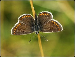 Brown Argus basking - Swelshill Bank (glostopcat) Tags: brownargusbutterfly butterfly insect invertebrate macro glos summer august nationaltrust swelshillbank stroud