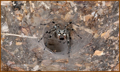 _O6A5681 Arizona Funnel-web Spider2 ©Dancing Snake Nature Photography (Dancing Snake Nature Photography) Tags: arizona nature photography dancingsnakenaturephotography arachnids arizonafunnelwebspider tucsonaz