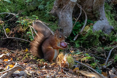 Brownsea Island Red Squirrel (Linda Martin Photography) Tags: dorset sciurusvulgaris redsquirrel uk brownseaisland nature wildlife coth naturethroughthelens coth5 alittlebeauty ngc npc