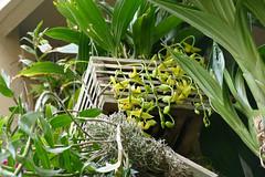 Gongora galeata var. luteola species orchid 9-18 (nolehace) Tags: summer nolehace fz1000 flower bloom plant gongora galeata var luteola species orchid 918 sanfrancisco