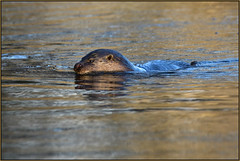 Otter (image 2 of 3) (Full Moon Images) Tags: wildlife nature animal mammal otter