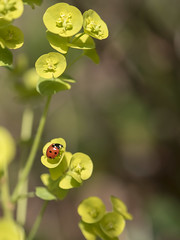 Attraction (Titole) Tags: coccinelle ladybug ladybird titole nicolefaton euphorbe euphorbia