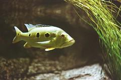 Odysea August 2018-4 (benakersphoto) Tags: film filmgrain filmscanner filmisnotdead filmphotography kodak kodakfilm kodakultramax expiredfilm expired theexpiredfilmgroup 35mm 35mmfilm 50mm fish aquarium minolta minoltamd minoltax9