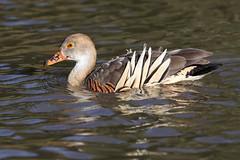 Plumed Whistling Duck - Dendrocygna eytoni (Roger Wasley) Tags: plumed whistling duck dendrocygnaeytoni bird wildfowl grasswhistler australia