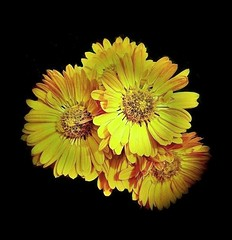 Le chrysanthème (mamietherese1) Tags: flickrdiamond diamondclassphotographer netartii earthmarvels50earthfaves