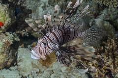 DSC_4306 (bajo_el_mar) Tags: 2018 marrojo underwater fotosub