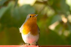 (Jérôme_M) Tags: canon eos 600d sigma 150600 nature oiseau bird bokeh aquitaine landes seignax saintmartindeseignanx rougegorge wildlife natgeo natimages lemondedelaphoto