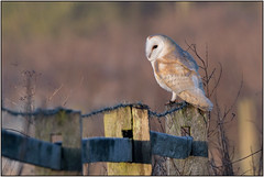 Barn Owl (image 2 of 3) (Full Moon Images) Tags: wildlife nature bird birdofprey cambridgeshire fens barn owl