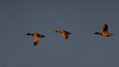 Ducks in flight at sunset : time to say goodbye ! (Franck Zumella) Tags: sunset coucher color couleur red rouge flight vol flying oiseau duck canard fast rapide animal nature ciel voler bird