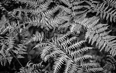 Ferns (jtr27) Tags: dscf2313xl jtr27 fuji fujifilm xt20 xtrans vivitar komine 55mm f28 macro manualfocus minoltamount srmount fern landscape blackandwhite monochrome