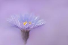 princesse (christophe.laigle) Tags: christophelaigle fleur macro nature flower fuji mauve purple gouttes xpro2 xf60mm drops