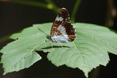 Kleiner Eisvogel (Aah-Yeah) Tags: kleiner eisvogel white admiral limenitis camilla schmetterling butterfly tagfalter achental chiemgau bayern