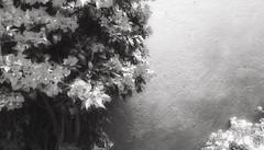 (FOTOS PARA PASAR EL RATO) Tags: cdmx texturas plantas pared blancoynegro bugambilia flores