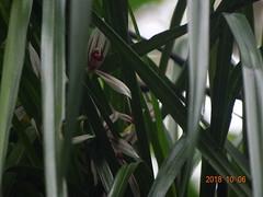 DSC01641鳳蘭