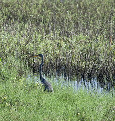 stealth heron (in explore) (Mark.Swanson) Tags: heron greatblueheron nationalwildliferefuge nwf texas brazoria