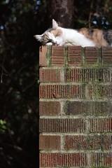 hello, friend (rootcrop54) Tags: graciejo neighbor neighbors female dilute calico heryard friend neko macska kedi 猫 kočka kissa γάτα köttur kucing gatto 고양이 kaķis katė katt katze katzen kot кошка mačka gatos maček kitteh chat ネコ brick wall
