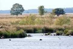 DSC04090 (imanh) Tags: landschap moeras natuur hoogveen vogel gans dwingelderveld imanh iman heijboer landscape swamp bird goose nature