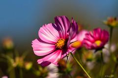 Jardin_Vagabond (Savoie 10/2018) (gerardcarron) Tags: automne autumn canon80d fleurs flore flowers nature aixlesbains