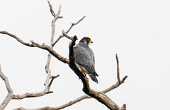 7K8A8208 (rpealit) Tags: scenery wildlife nature state line lookout peregrine falcon bird