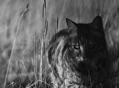 Patrol (graemes83) Tags: pentax da cat bengal pet animal grass black white