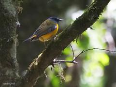 White-starred Robin Pogonocichla stellata orientalis (nik.borrow) Tags: bird robin