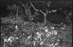 flowers, old tree form, yard, Asheville, NC, Goerz Box Tengor, AristaEdu 200, Ilford Ilfosol 3 developer, 10.21.18 (steve aimone) Tags: flowers floralforms floral tree oldtree treeforms yard shadows asheville northcarolina goerzboxtengor goerz boxtengor boxcamera aristaedu200 ilfordilfosol3developer 6x9 mediumformat monochrome monochromatic blackandwhite 120 120film film