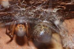 Steatoda nobilis pair. Arachtober 28 (Procrustes2007) Tags: spider steatoda steatodanobilis noblefalsewidow arachnid arachtober nikond50 sudbury suffolk uk