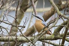 DSC_3065 (P2 New) Tags: 2018 animaux date etangdecesson france mars oiseaux passériformes pays sitelletorchepot sittidae