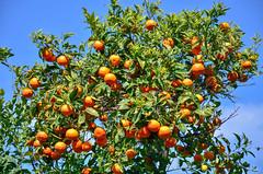 Oranges (Rum Bucolic Ape) Tags: orange arancia italy narange citrus tree grove capri