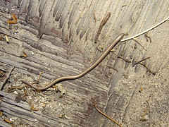 Legless Lizard (M.Gruen) Tags: legless lizard