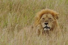Lion (Carol Griffiths) Tags: lion wildlife africa safari