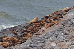DSC_2539 ~ Sea Lion Caves OR (stephanie.ovdiyenko) Tags: sealioncaves oregon oregoncoast pacificocean pacificcoast stellarsealions sealion mammal animal penniped colony display
