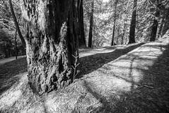 secuoyas (juanmartinreyes) Tags: travel naturaleza arbol paisaje landscape nikon d90 secuoyas cantabria excursion verde tokina bosque