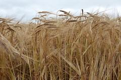 Ready for the harvest (Bods) Tags: wharramlestreettogantonwalk yorkshirewoldsway eastheslertonbrow barley northyorkshire yorkshirewoldswayday4 walk