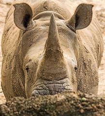 Inquisitive White Rhino (Ellsasha) Tags: rhinoceros whiterhinoceros houstonzoo
