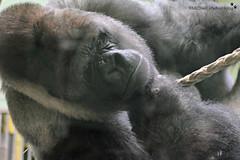 Bokito (MiChaH) Tags: diergaarde dierentuin zoo blijdorp rotterdam 2018 dieren animals wild bokito