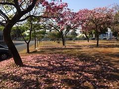 Petal fall   .  .  . (ericrstoner) Tags: ipêrosa tabebuiarosea bignoniaceae pinktrumpettree brasília distritofederal trumpettree ipê