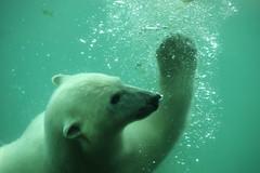 Polar bear | ijsbeer (bjornwerkman) Tags: polar bear ijsbeer blijdorp underwater dierentuin zoo polarbear