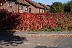 DSC_1894 (PeaTJay) Tags: nikond750 reading lowerearley berkshire gardens outdoors nature flora fauna plants flowers trees shrubs bushes foliage