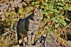 Wild Cat (Hugo von Schreck) Tags: hugovonschreck wildkatze wildcat canoneos5dmarkiii tamronsp150600mmf563divcusda011 fantasticnature animal cat