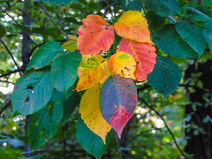 Colorful Leaves_8596 (smack53) Tags: smack53 fall fallseason fallcolors autumn autumnseason autumncolors foliage colorful leaves canon powershot sx530hs canonpowershotsx530hs westmilford newjersey