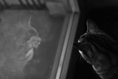 (nihilnocet) Tags: canoneos700d ef50mmf18ii nihilnocet reflection mirrorportrait mirror cat cats catportrait catinwindow bw blackwhite czarnobiałe kot koty pets petsportrait